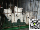 西高地幼犬大概多少钱 西高地幼犬大约多少钱 西高地幼犬的图片
