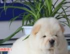 出售纯种大头肉嘴紫舌头松狮犬多种颜色 可签购犬协议