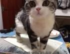 大同买猫 出售纯血统加白美国短毛猫 粉爪粉鼻正八蝴蝶纹