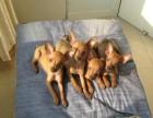 泉州哪有小鹿犬卖 泉州小鹿犬价格 泉州小鹿犬多少钱