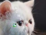 纯种短毛猫加菲猫 红白净梵 黄白净梵纹 无疾病无