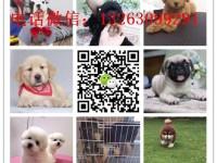 本地犬舍对外售卖世界名犬 加微信上门有折扣 名犬价格图片
