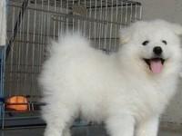 微笑天使 熊版萨摩耶 雪橇犬 萌宠狗狗 自家繁