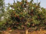 石榴树价格、石榴树苗、柿子树、山楂树、核桃树、枣树