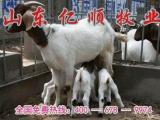 山东大型养殖场         山东小尾寒羊养羊厂