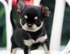 太原纯种吉娃娃犬价格,太原哪里能买到纯种吉娃娃犬