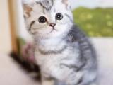 重庆武隆超肥美短加白猫特价转让