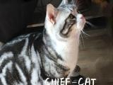 (CFA注册猫舍美国短毛猫)美短加白种公借配