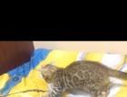 孟加拉豹猫 两公一母