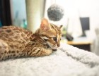 自家繁育纯血豹猫幼猫多只弟弟妹妹都有可办理证书欢