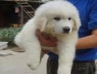 大白熊宝宝,毛色漂亮活泼可爱,疫苗齐全