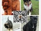 高加索犬幼犬,纯俄系 高大威猛 纯种健康 高加索