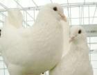 肉鸽养殖、周期短、成本低、易管理、致富快