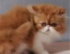 郑州哪里出售纯种加菲猫纯种加菲猫价格多少