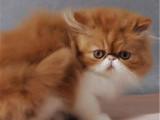 北京大興黃白加菲貓價格