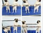哪里有卖巴哥犬的巴哥犬多少钱?签协议包健康