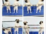 哪里有卖巴哥犬的巴哥犬多少钱 签协议包健康