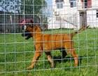 洛阳哪里有马犬出售 马犬哪里的比较好 纯种健康的马犬多少钱