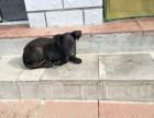 中华黑狼犬幼犬价格