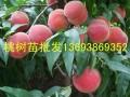 1-5公分桃树苗批发 梨树苗批发 占地桃树苗 毛桃树苗