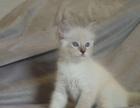 布偶猫 带证书 含三针疫苗