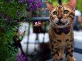 自家貓舍繁育豹貓 包純種 包健康