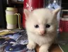 自家的一月小奶猫