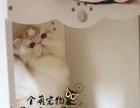 出售大眼可爱小波斯猫 健康活泼波斯猫 高贵优欢迎各