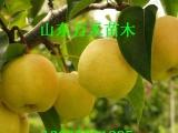 富士王苹果苗 矮化苹果苗  苹果树苗新品种基地 优质低价苗木