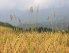 高品质高山梯田种植生态有机大米直供直销批发零售代理加盟