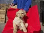 济南哪有阿富汗猎犬卖 济南阿富汗猎犬价格 阿富汗猎犬多少钱