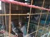 自家多年养鸽子,全部清棚