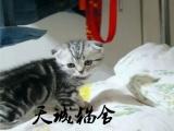 纯种折耳,猫舍繁殖,健康纯种,品质保障