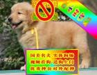 純種金毛犬品相好有多只可選 健康有保障 簽購犬簽協儀