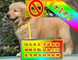 纯种金毛犬品相好有多只可选 健康有保障 签购犬签协仪