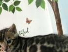 精品孟加拉豹猫宝宝 种公借配