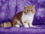 多只加菲猫 异短待售血统纯正 可上门挑选