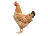 青年鸡多少钱|供应安阳质量好的青年鸡