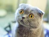 哪里有正規貓舍 藍貓養殖 藍貓幼貓轉讓