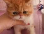 2个月大自家养的加菲猫母
