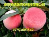 中油4号桃树苗出售