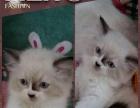 出售自家繁育布偶猫 公母双色 4000元起