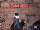 元宝鸽 彩背鸽 金鱼鸽 淑女鸽等60多个品种的观赏鸽出售