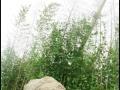 青岛本地绿化用竹子带土带根包活