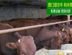利木赞牛犊养牛场销售肉牛苗先货后款免费运输