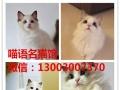 出售品相漂亮布偶猫 性格非常黏人可爱 可上门看猫