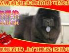 专业繁殖 纯种松狮犬 售后签协议质保终身
