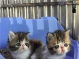 出售纯种加菲猫血统优秀健康活波——公母均有出售纯种