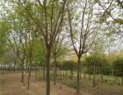定西20公分法桐基地种植数量800亩