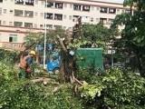 广州绿化树木修剪砍树清运绿化垃圾